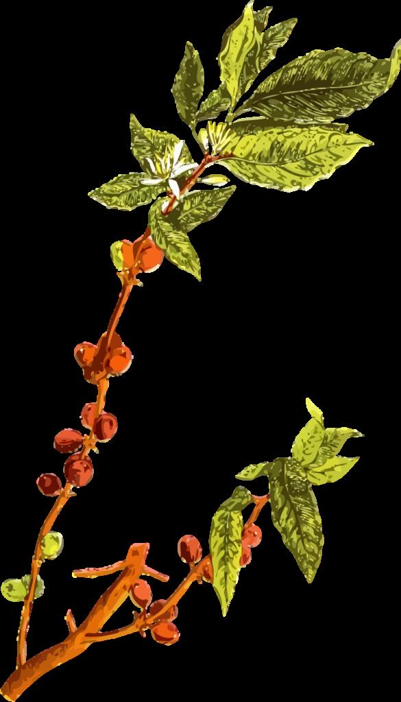 CoffeePlant2-2400px